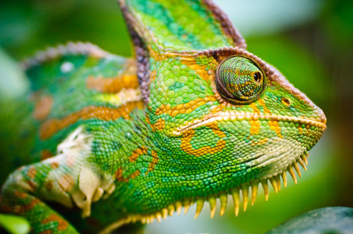 planetofbeauty:  Cameleon by Sergiu Bacioiu on Flickr.