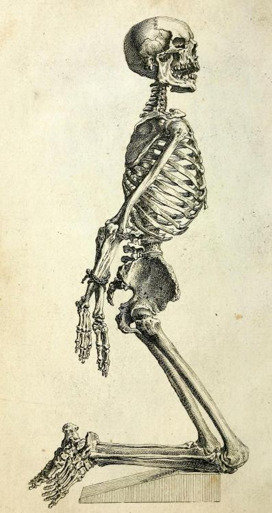 biomedicalephemera:  Skeleton of an Adult Male Posed to most effectively convey limb relation to torso anatomy. The Anatomy of the Humane Body: Edition VI. William Cheselden, 1741.