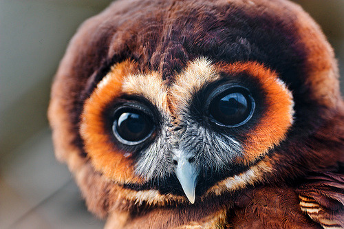 chazmcintyre:  Pretty brown owl (by Tambako the Jaguar)