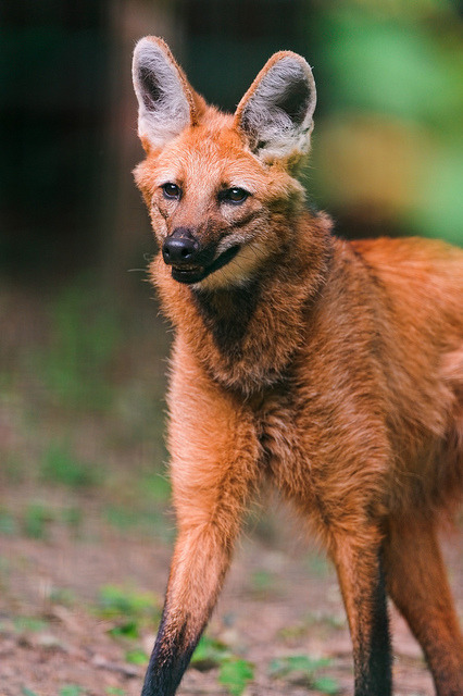 thepredatorblog:  Maned Wolf (by Tambako the Jaguar)