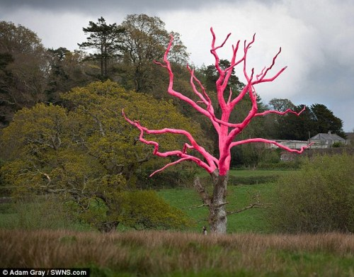 British artist paints a 300-year-old oak tree fluorescent pink to raise awareness of a fungal disease which is affecting trees across the country.  He spent two weeks working on the 21m-high oak tree which is suffering from decay in the grounds of the Delamore Estate in Cornwood, Devon.
