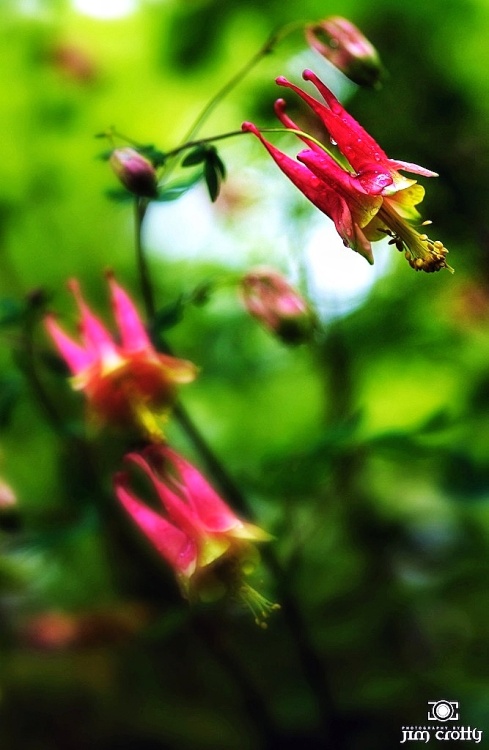 Columbine in Clifton Gorge State Nature Preserve, Ohio.