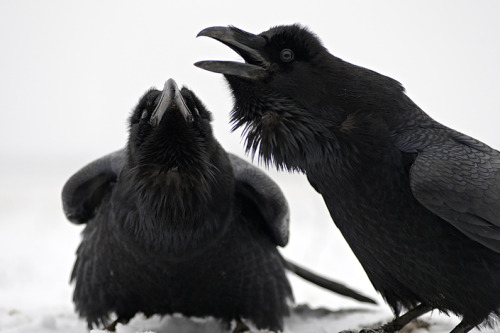 fairy-wren:  ravens (photo via sakertour)