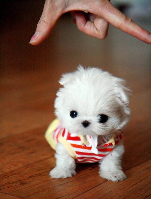 Eeek. That is the tiniest puppy ever. >.<