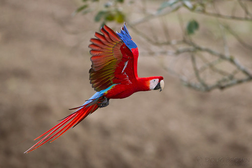 fairy-wren:  scarlet macaw (photo by doug brown)