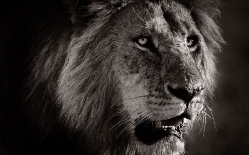 theanimalblog:  A look of intent is captured on the face of a lion.  Picture: David Lloyd / Barcroft Media