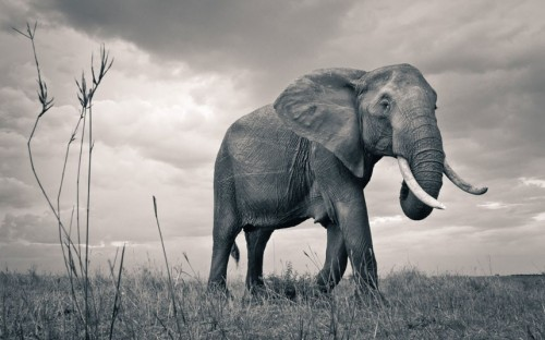 theanimalblog:  African elephant.  Picture: David Lloyd / Barcroft Media