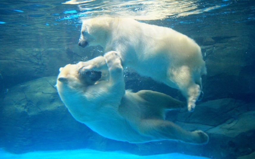theanimalblog:  Two polar bears play under water at Wuhan Polar Ocean World in Wuhan, China.  Picture: China Foto Press / Barcroft Media