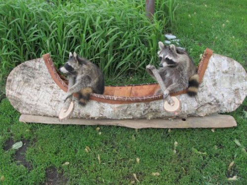Two Raccoons Paddling a Canoe   Hey, you dumb raccoons, you're on land.  [Like following us on Tumblr? Join the party on Facebook!]