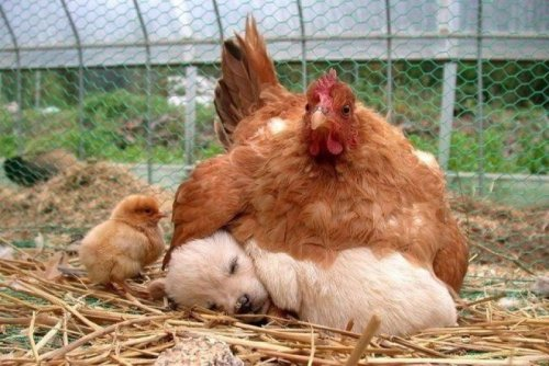collegehumor:   Chicken Sits on Puppy Like its an Egg   Dogs actually hatch out of puppies. Didn't you know that?