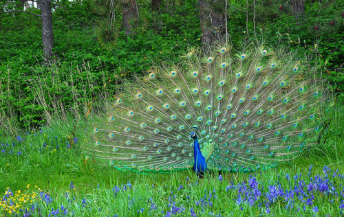 In a Camas field, a peacock dancing  by ngawangchodron on Flickr.