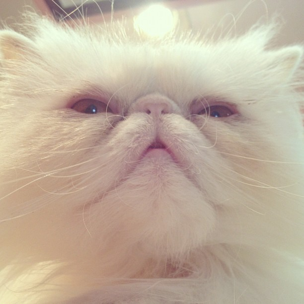 Chester Von Battingham #persiancat #catsofinstagram #cat (Taken with instagram)