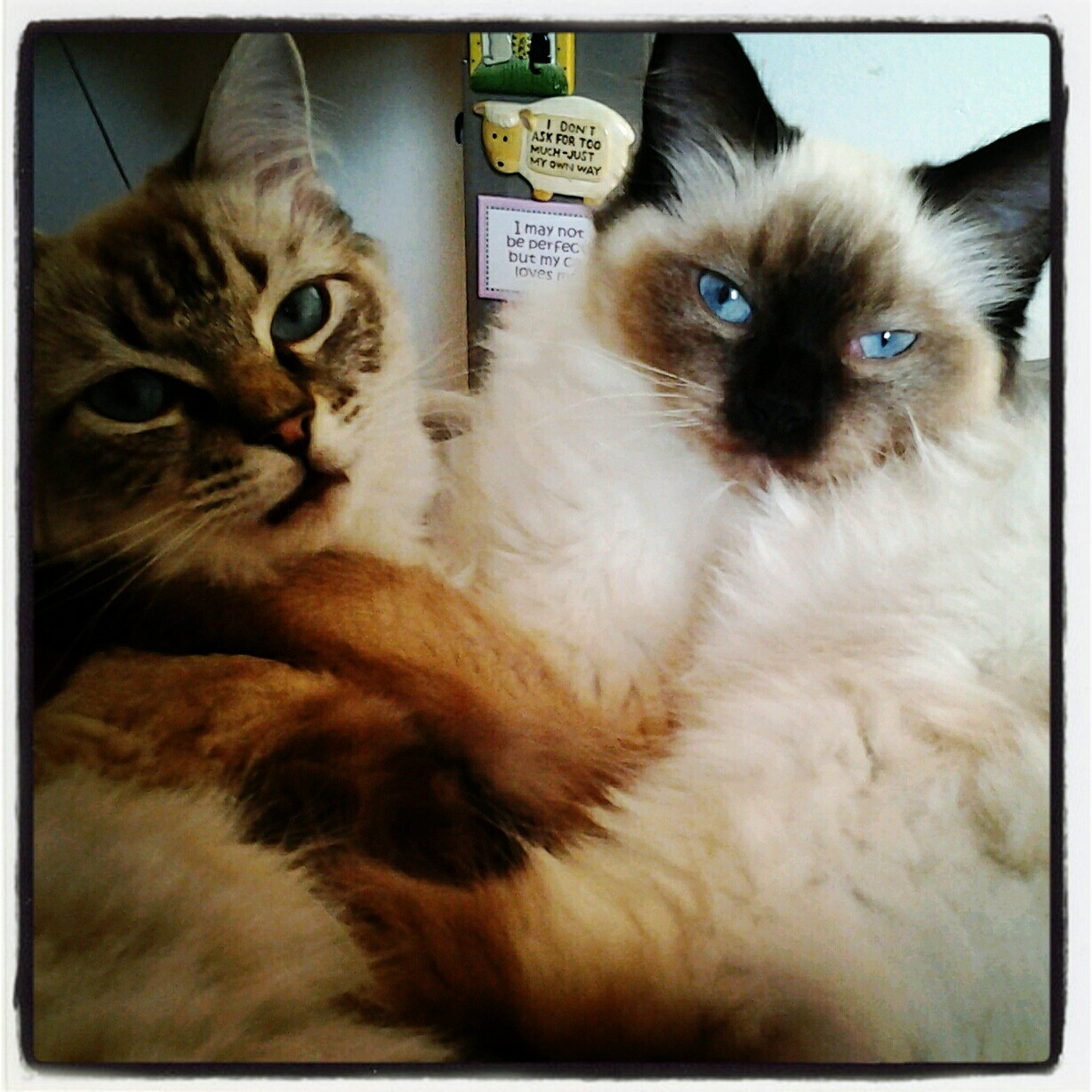 "Hold Me Now  My Ragdoll girl kittens ""Trilly"" Sugarcake & MoonFlower Moonpie   ©2012 M. Dajos"