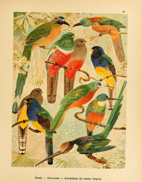 dendroica:  Trogons and Motmots by BioDivLibrary on Flickr. Album de aves amazonicas,. Zürich :Impressão do Instituto Polygraphico a.g.,1900-06..biodiversitylibrary.org/page/13804733