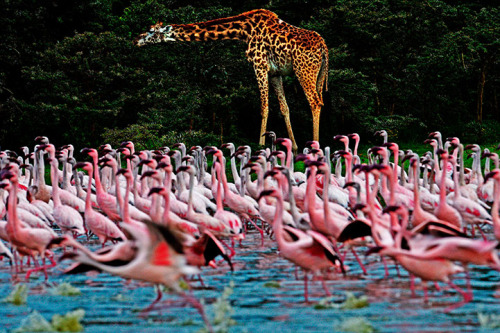 ecocides:  A giraffe is pictured near lesser flamingos at Lake Oloidien near Naivasha in Kenya | image by Carl De Souza