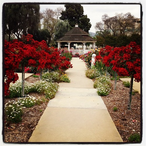 Rose Garden. #cpp  (Taken with instagram)