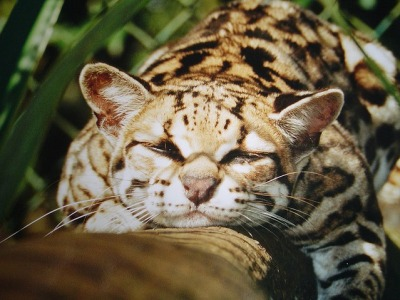 sapphire-orgasm:  The wildcat Margay- if you change the source so help me God.