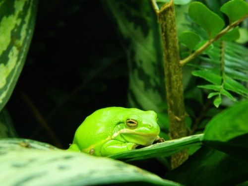 Green Tree Frog | Freelovehate