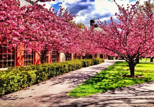 I remember the days sitting in the quad, under the sun and the cherry blossoms.   My alma mater, Bucknell was 168 long miles from the love of life at the time in New York City.  Days like this made it seem as though time had no respect for love or emotions.  Petals fell off her tiny nose, and tears made it stick to her cheeks. I can still remember the smell of fresh cut grass and her perfume mixed in the air.  Spring skipped most of us this year, but my memories of spring from years ago still haunt me with each floral scent.