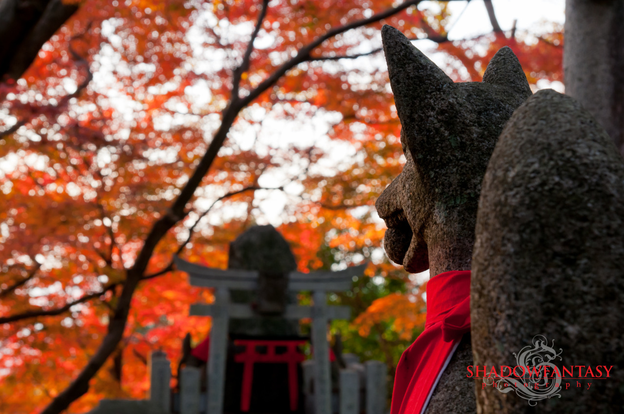 A kitsune statue, representing the messenger of the kami Inari, watches as the Japanese maple turns colors against the sunset at the Fushimi Inari Taisha in Kyoto, Japan.