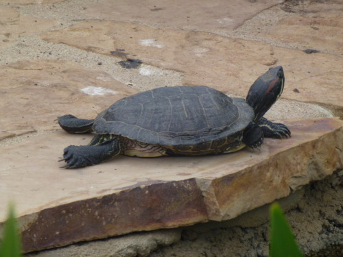 buggirl:  This turtle at CSUN's ponds doesn't have a care in the world, while the rest of us are freaking out about finals!