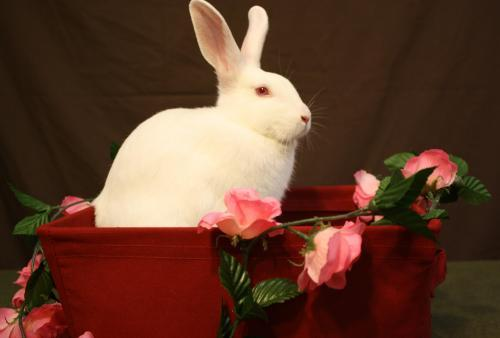 Carly Available for adoption through House Rabbit Society MD/DC/NoVA- Baltimore, MD