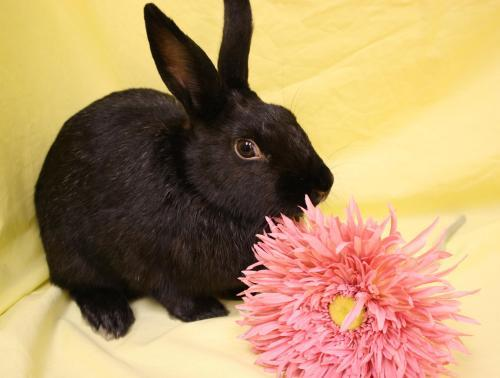 Jessica Rabbit Available for adoption through House Rabbit Society MD/DC/NoVA- Baltimore, MD