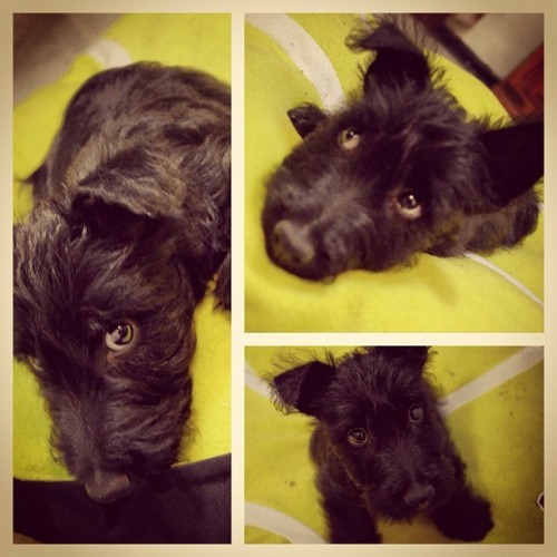 #puppy #dog #foster #scotchterrier #black #hipster (Tomada con instagram)