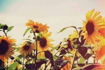 janelleleed:  sunflowers!
