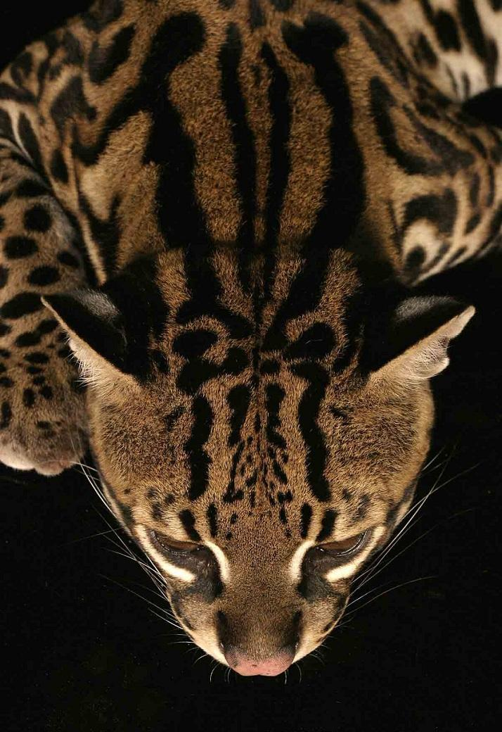llbwwb:  Ocelot ( Leopardus pardalis ) photographer unknown