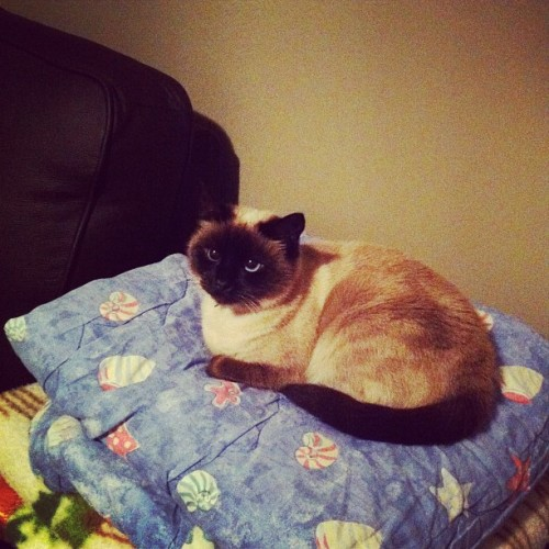 Shes like the princess and the pea! Naww #blueeyes #siamese  (Taken with instagram)