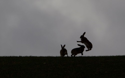 mabelmoments:  Two brown hares (Lepus europaeus) boxing, and a third looking on, Hertfordshire.  Picture: Mark Hamblin/2020VISION / Rex Features