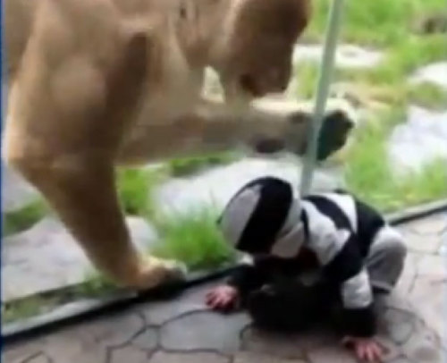Another favorite image from this week. Lionness Tries to Eat Baby Dressed in Zebra-Striped Hoodie
