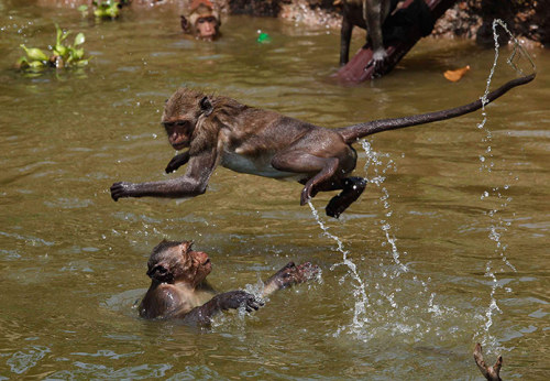 Photograph: Sukree Sukplang/Reuters Monkeys enjoying a cold bath during a hot day in Ayutthaya, Thailand. Nearby Bangkok is seeing the hottest average temperatures in the past 30 years - part of our environment site's Week in Wildlife gallery.