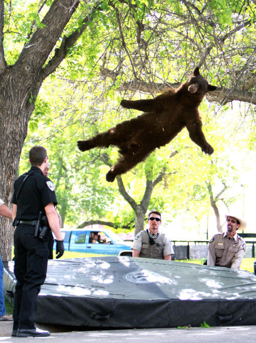 Boulder's famous 'falling bear' died after being hit by car on U.S. 36 The bear famously tranquilized on the University of Colorado campus last week, and immortalized in a viral photo by CU student Andy Duann, met a tragic death early Thursday in the Denver-bound lanes of U.S. 36. Colorado Parks and Wildlife officials said a 280-pound black bear that died on U.S. 36 after being hit by a car at about 5:40 a.m. Thursday was the same bear that became known worldwide last week after wandering onto the CU campus near the Williams Village dorm complex.