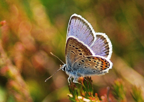 hampshirewildlife:  Silver Studded Blue on Flickr. Plebeius argus