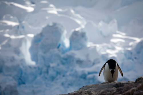 theanimalblog:   Penguins