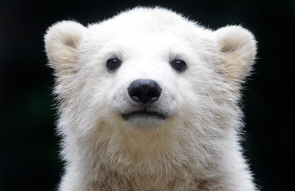 From Animals in the News, one of 41 photos. Here, polar bear cub Anori explores the outdoor enclosure at the zoo in Wuppertal, Germany, on Monday, April 23, 2012. Anori was born on January 4 and is becoming a visitor's highlight. (AP Photo/Frank Augstein)