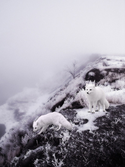 White Winter Foxes by valerie chiang on Flickr.