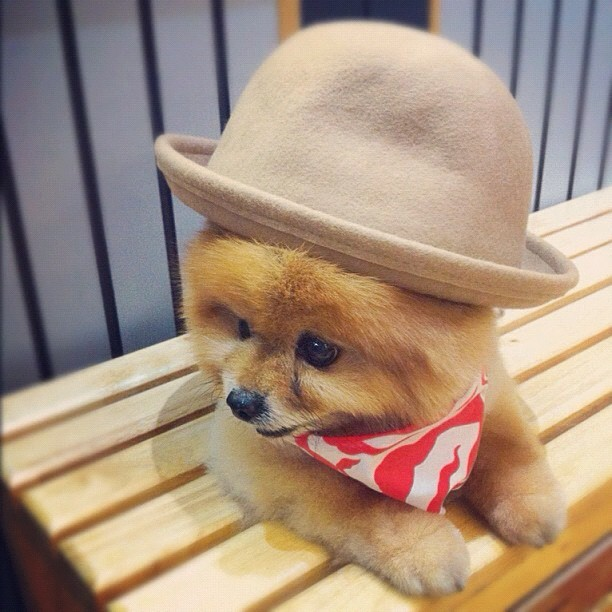 aplacetolovedogs:  Ready for a night on the town From @beaubonito (Taken with instagram)