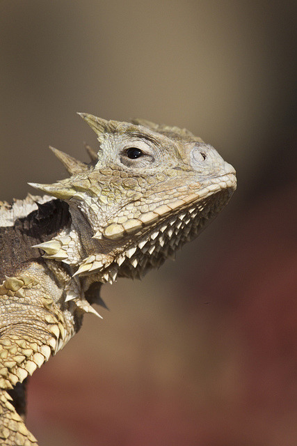 sdzoo:  Giant horned lizard on Flickr.