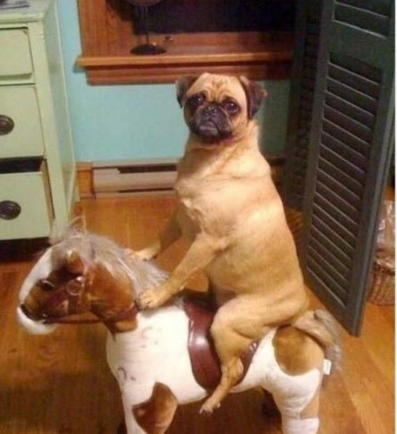 collegehumor:  Dog Riding Toy Horse Ruff Rider