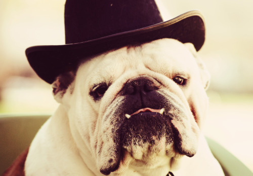 dogsintophats:  http://www.dogpictures.co/pictures/my_fancy_hat.htm