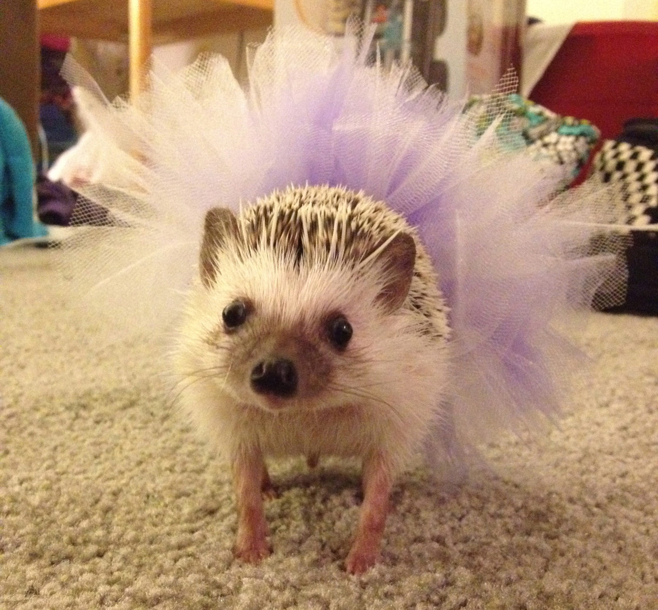 "thefluffingtonpost:  Critics Cheer for Hedgehog Ballet The New York Philharmonic, in partnership with the New York City Ballet and Lincoln Center, have successfully staged a production of Prokofiev's Romeo and Juliet with an all-hedgehog cast. And critics are raving. ""It's literally the most fun I've had at the ballet in 10 years,"" Malcolm Fitzgerald wrote in his review for DanceWorld magazine. ""It's modern, it's fresh, and — let's face it — hedgehogs in tutus are damn cute."" Submitted by Christine Schramm."