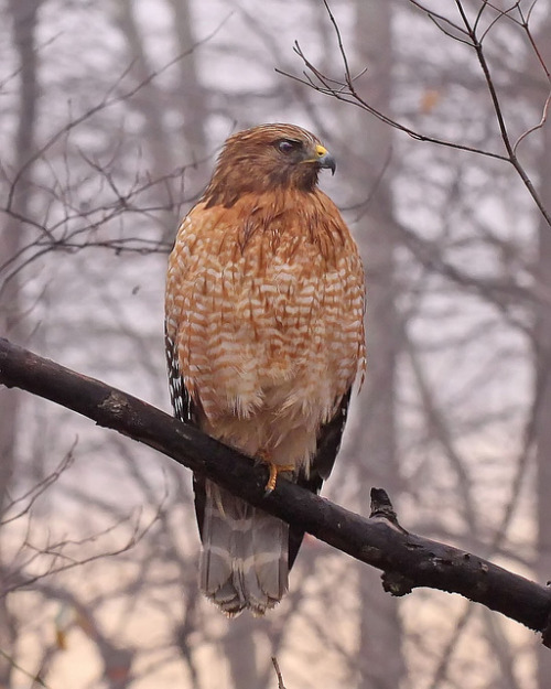 Red-shouldered hawk - yesterday by Vicki's Nature on Flickr.