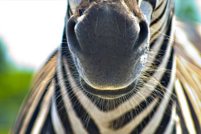 animalgazing:  Zebra whiskers by allspice1 on Flickr.