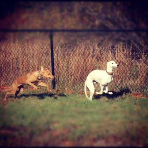littledaisymoomoo:  Vintage Daisy, running with her litter mate Roo