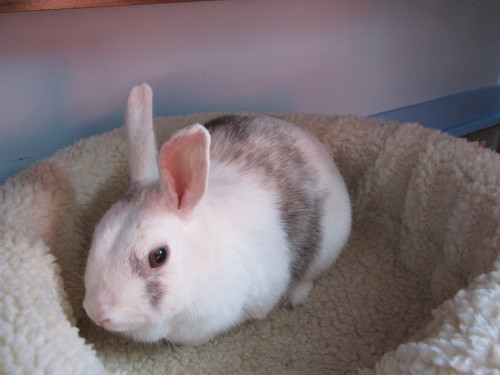 Dolly Available for adoption through Rabbit Rescue Inc- Milton, ON