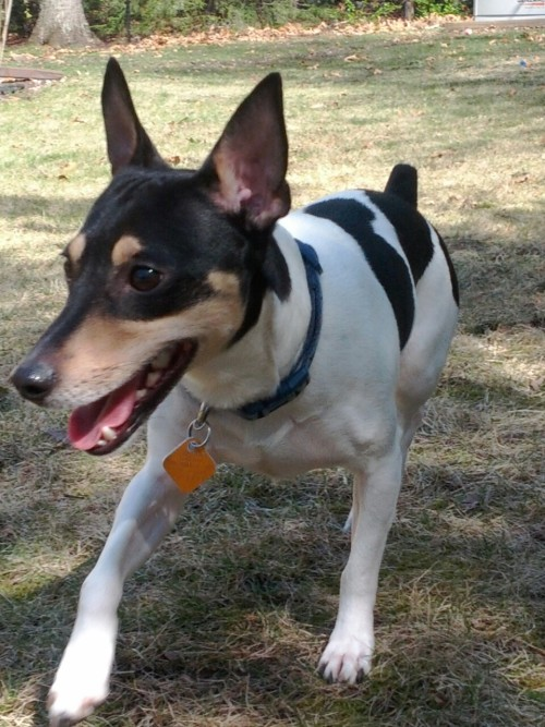 jcleesiegel:  Max the quintessential Rat Terrier/terror  My mom's doggy!