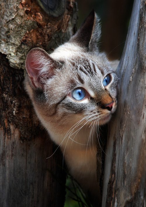magicalnaturetour:  Photo by shcherbyk ~ Happy Caturday lovely friends :)